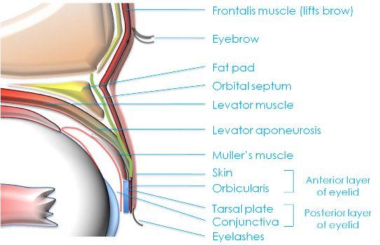 1-eyelid anatomy