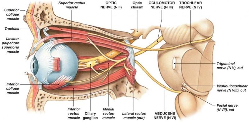 3-ocular nerves
